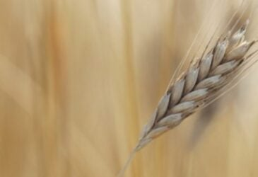 About einkorn wheat