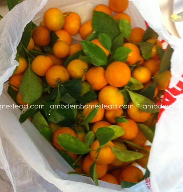 KumquatHarvest