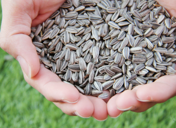 How to Harvest and Roast Sunflower Seeds