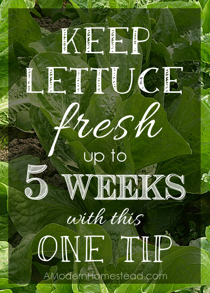 LettuceTipDone