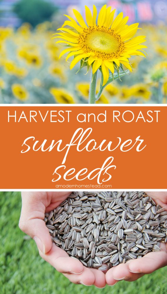 Learning how to harvest and roast sunflower seeds is a great family activity that has something for all ages!