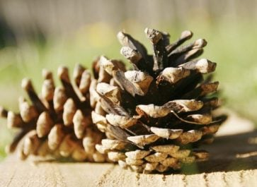 Cleaning Pinecones for Indoor Use