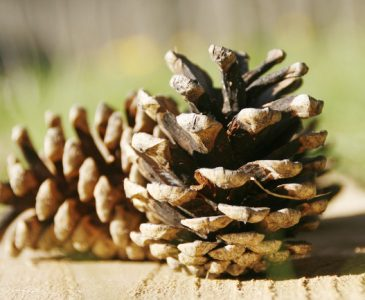 The One Thing you MUST DO Before Using Pine Cones in your Home