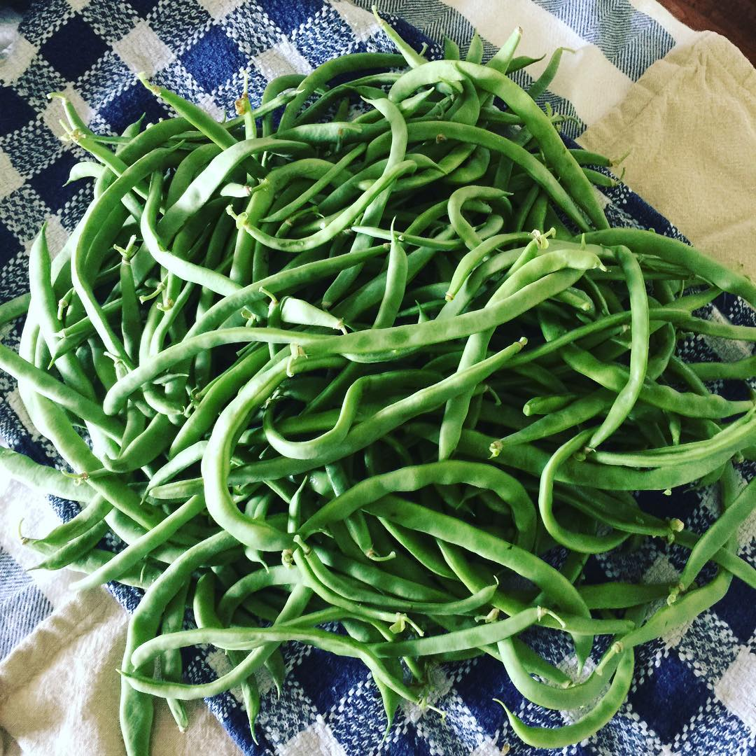 Green beans grown with the back to eden gardening method - perfect for beginners.