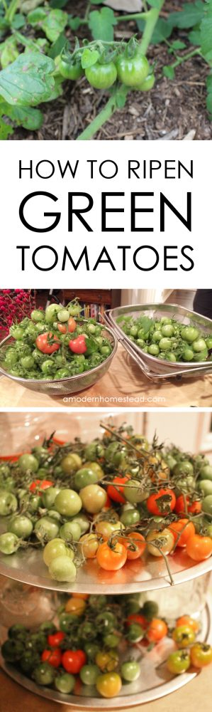 Did you know that you can pick green tomatoes from the vine and ripen them indoors? This may be needed to protect the fruit from animals or just something as simple as an early frost. Find out how easy it is to get gorgeous ripe tomatoes if you have to pick them early!