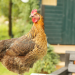 Ready to make the leap into animal husbandry? Chickens are a great place to start, and these 7 resources will help you on your way to success and give you all the information you need on just how to keep chickens!