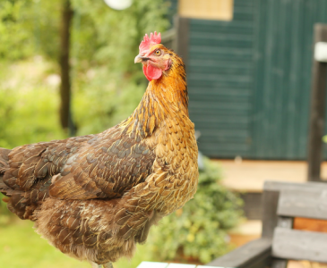 Best Blogs to Read If You Want to Keep Chickens