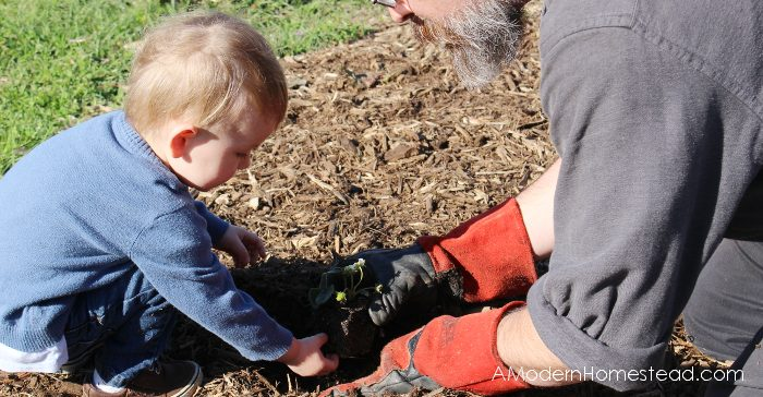 father with small child planting strawberries in the garden
