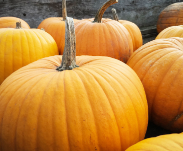 When to Plant Pumpkins for Halloween and Thanksgiving
