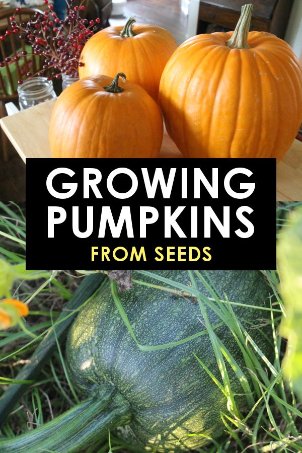 Growing Pumpkins From Seeds Tips Tricks And The Best Variety To Try