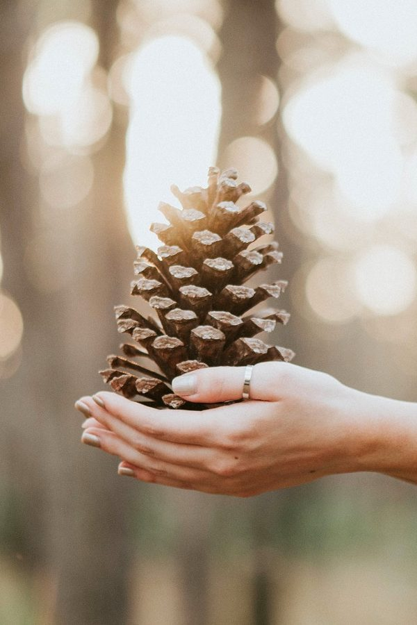 fresh pinecone held in hands in forest