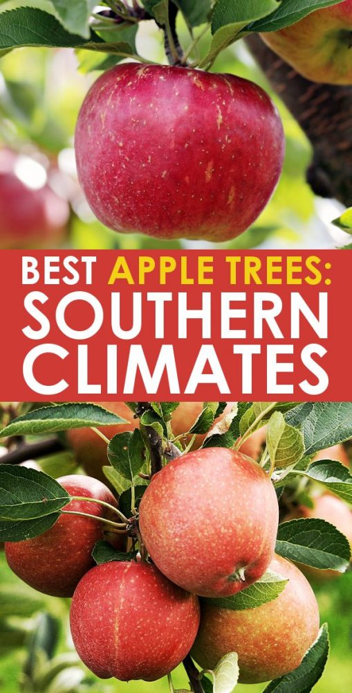 best apples trees for southern climates