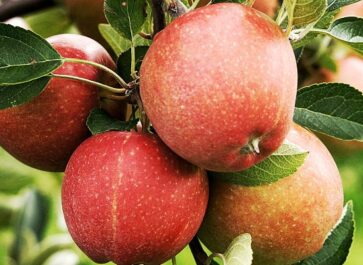 Best Apple Trees for Southern Climates