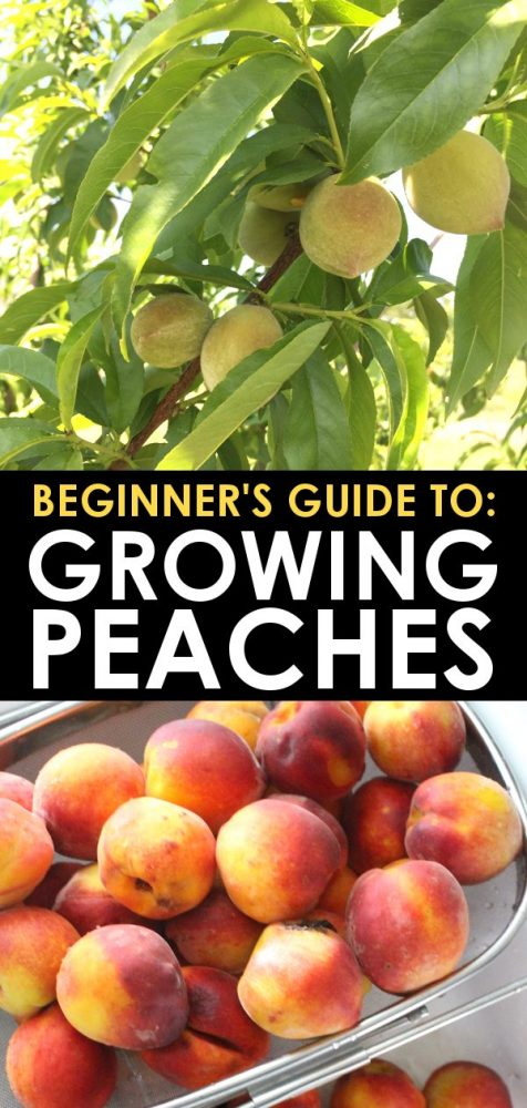 growing peach trees