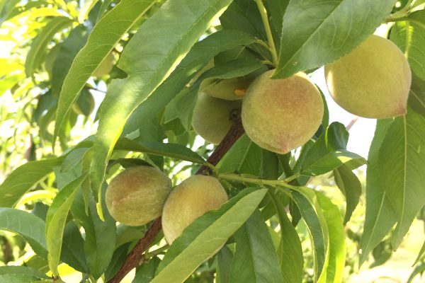 how to grow peach trees