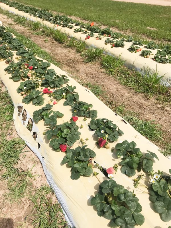 Strawberry picking field