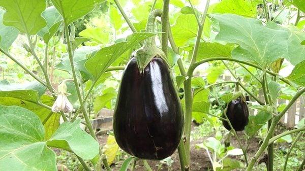 starting eggplant seeds indoors