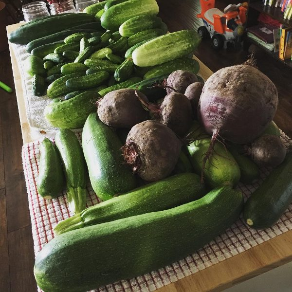 large zucchini harvest from backyard garden