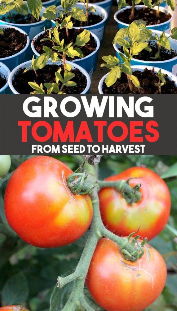 growing tomatoes promo image