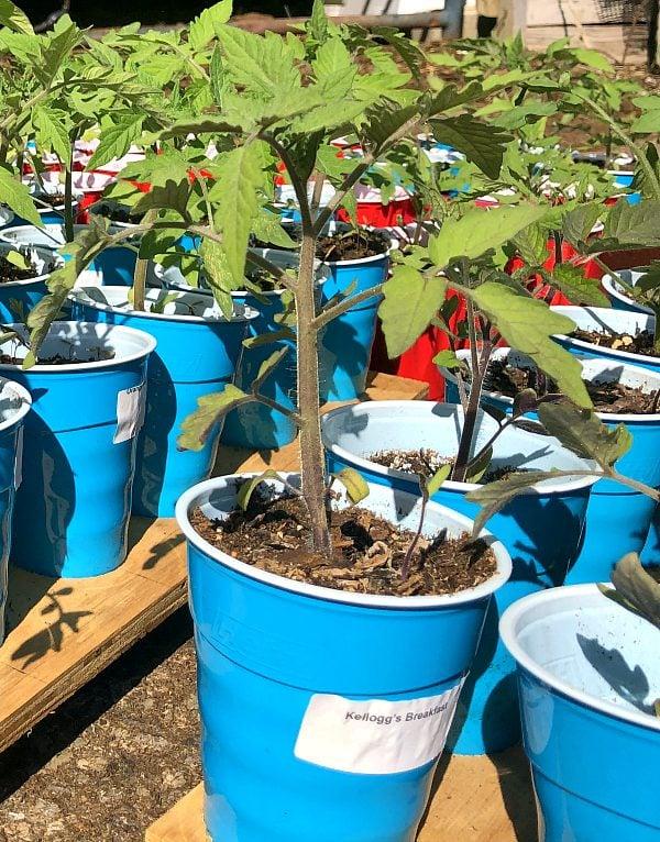tomato plants ready to transplant into the ground