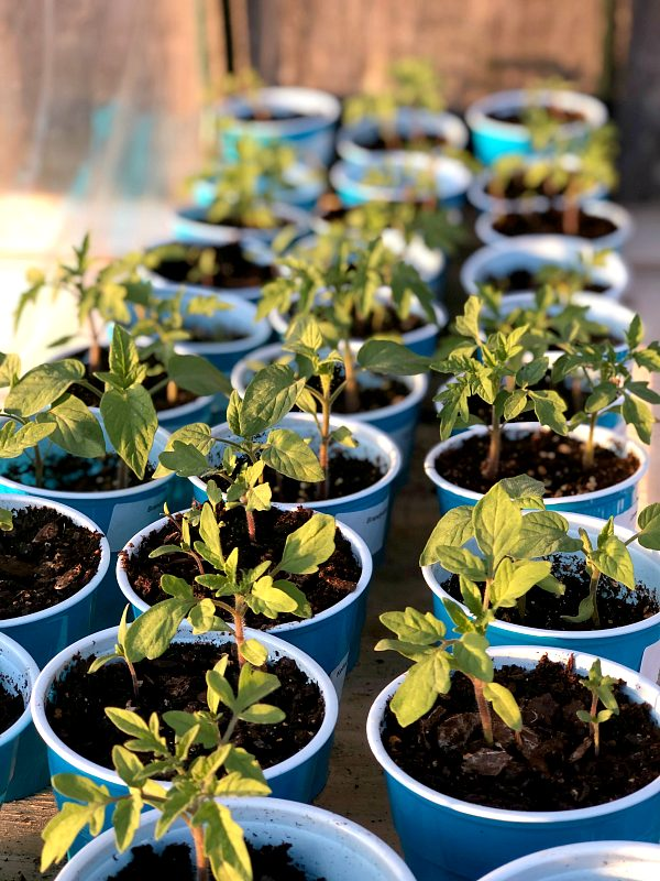 Tomato seedlings growing in plastic cups and soil