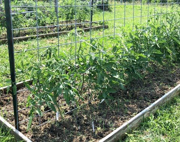 Tomato plants trellised on cattle panel metal