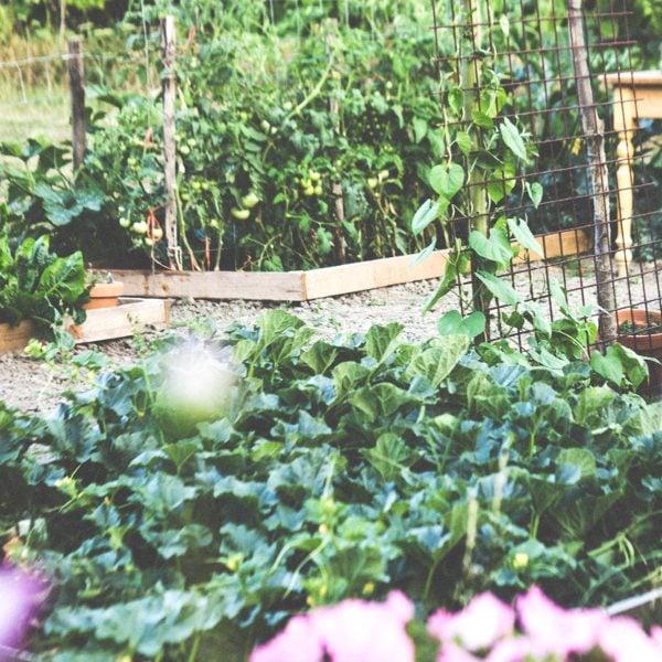 backyard vegetable garden in the city