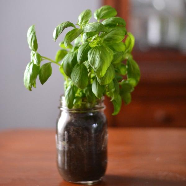 indoor herb gardening with basil in a mason jar