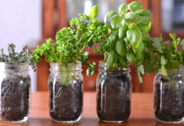 Indoor herb garden in mason jars