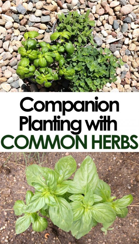 companion planting with common herbs in the vegetable garden Pin