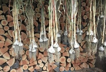 harvested garlic hanging to dry