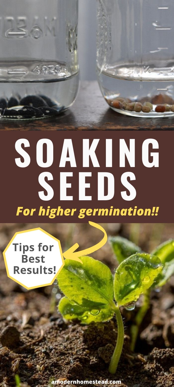 soaking seeds for planting pinnable image
