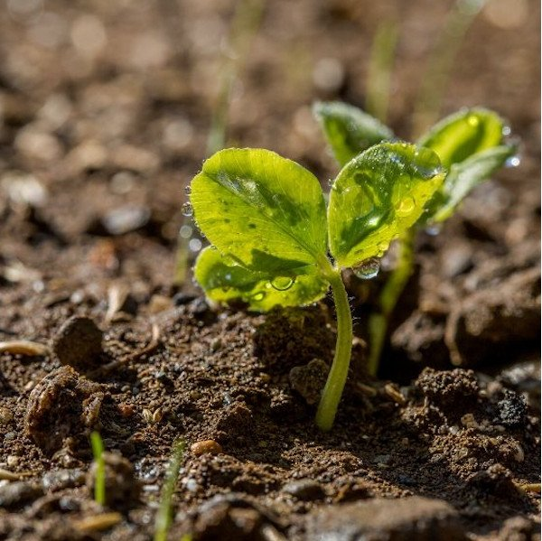 sprouting plant in fertile soil