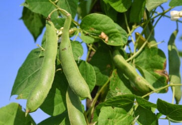 beans growing on the vine main image