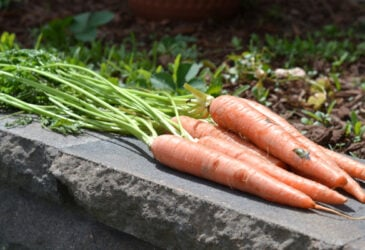 harvested carrots sitting outside