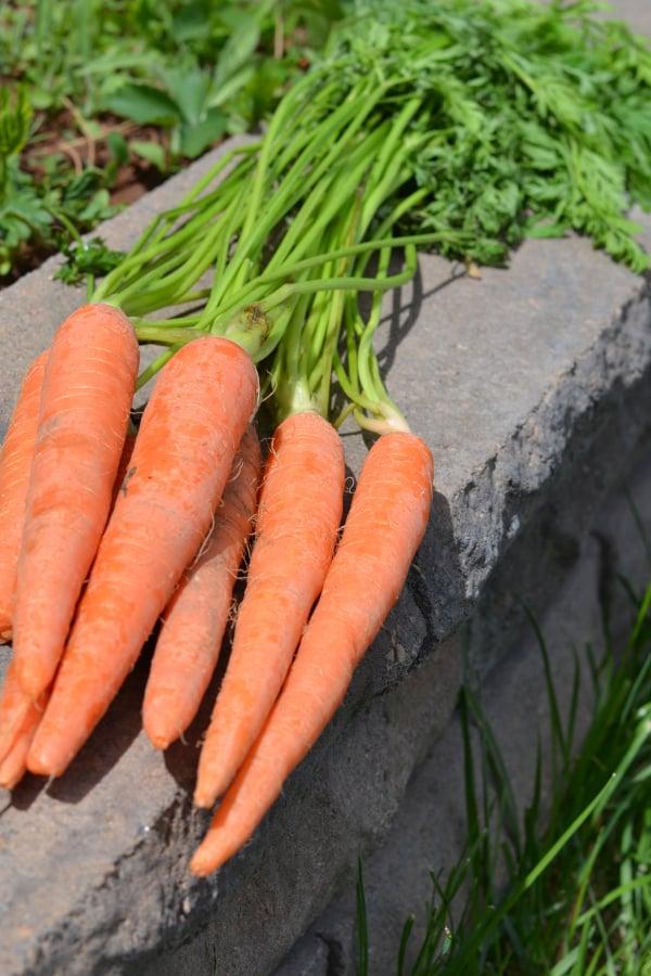 harvested freshly grown carrots sitting outside