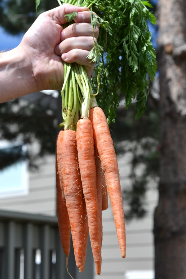 holding freshly grown and harvested carrots in one hand