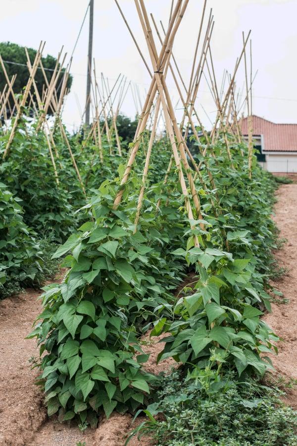 pole beans growing on a pyramid trellis