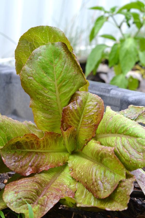 loose leaf lettuce growing in a garden