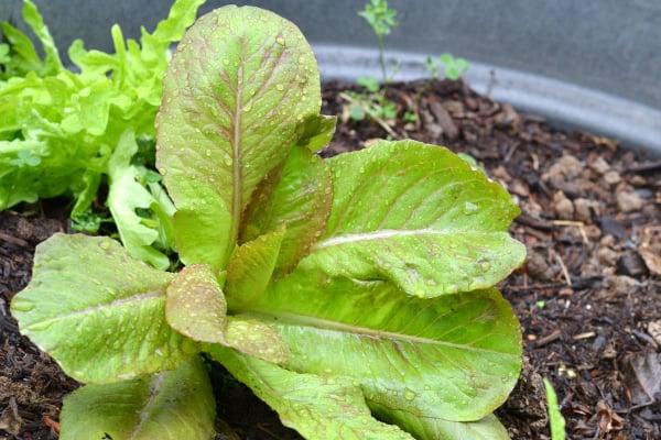 growing loose leaf lettuce in a garden