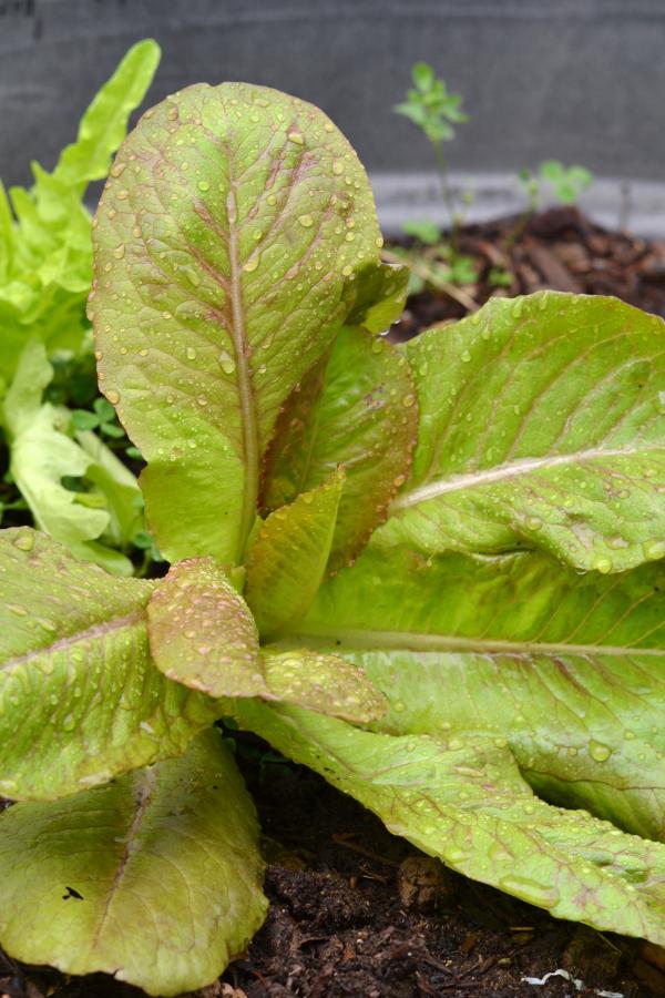 growing lettuce in a garden