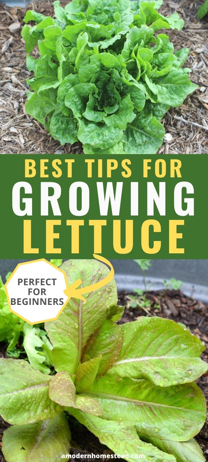 how to grow lettuce pinnable image