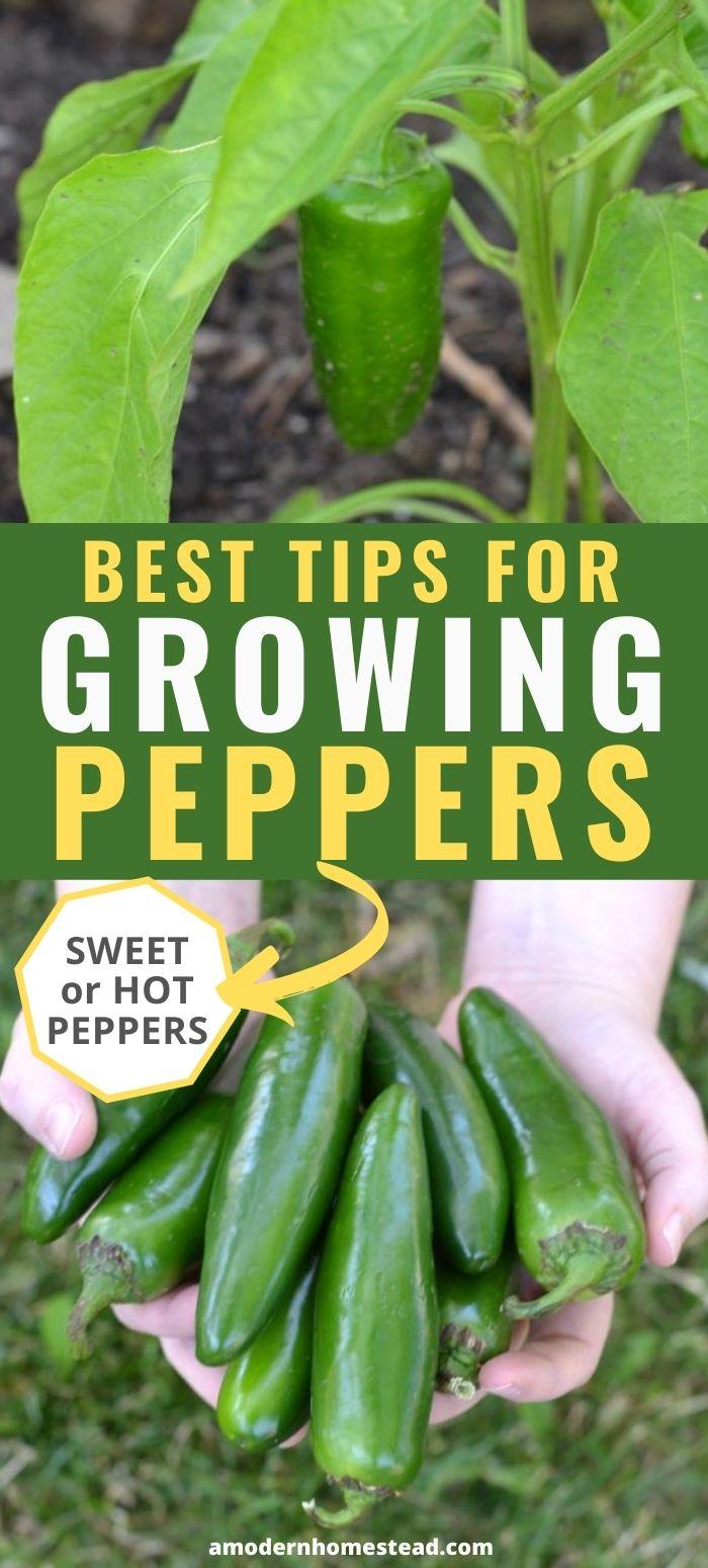 growing pepper plants pinnable image