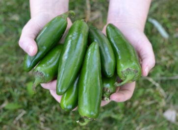 peppers harvested and held in hands