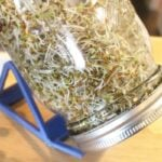 3 day old alfalfa sprouts with tails in mason jar