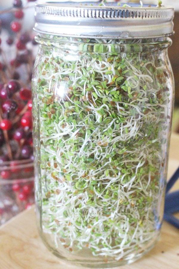 Mature alfalfa sprouts in a mason jar