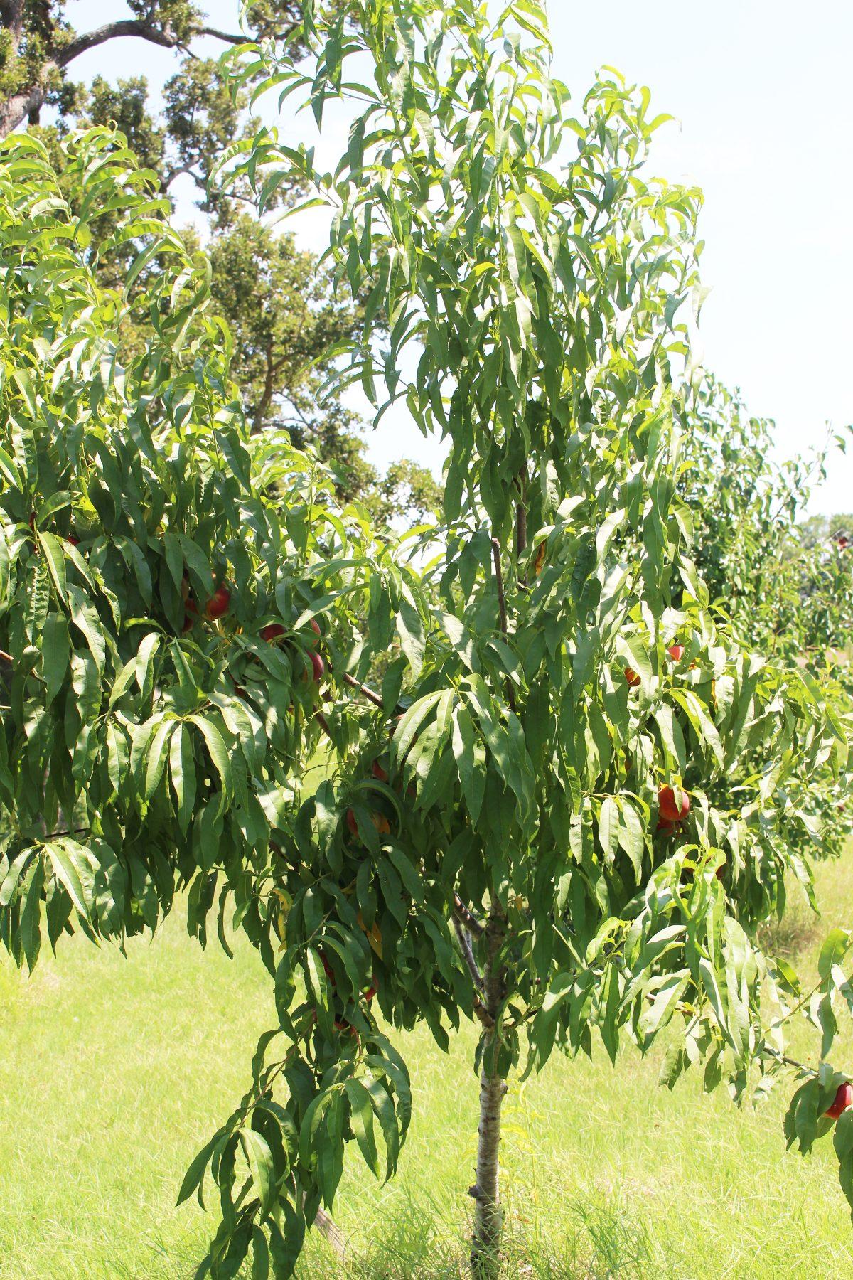 5 year old peach tree