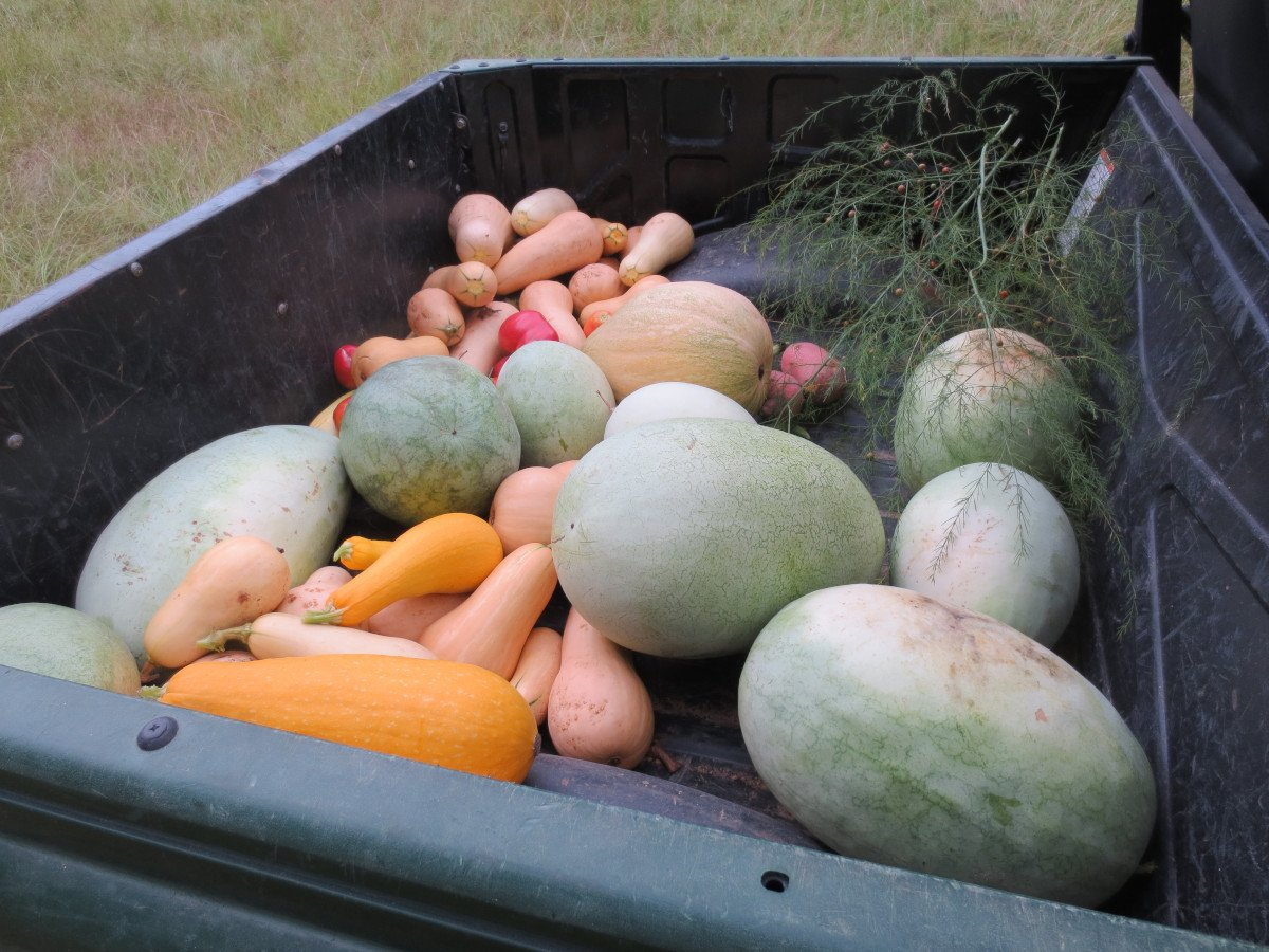 the harvest of a well-planned vegetable garden - there are squash, melons and more!
