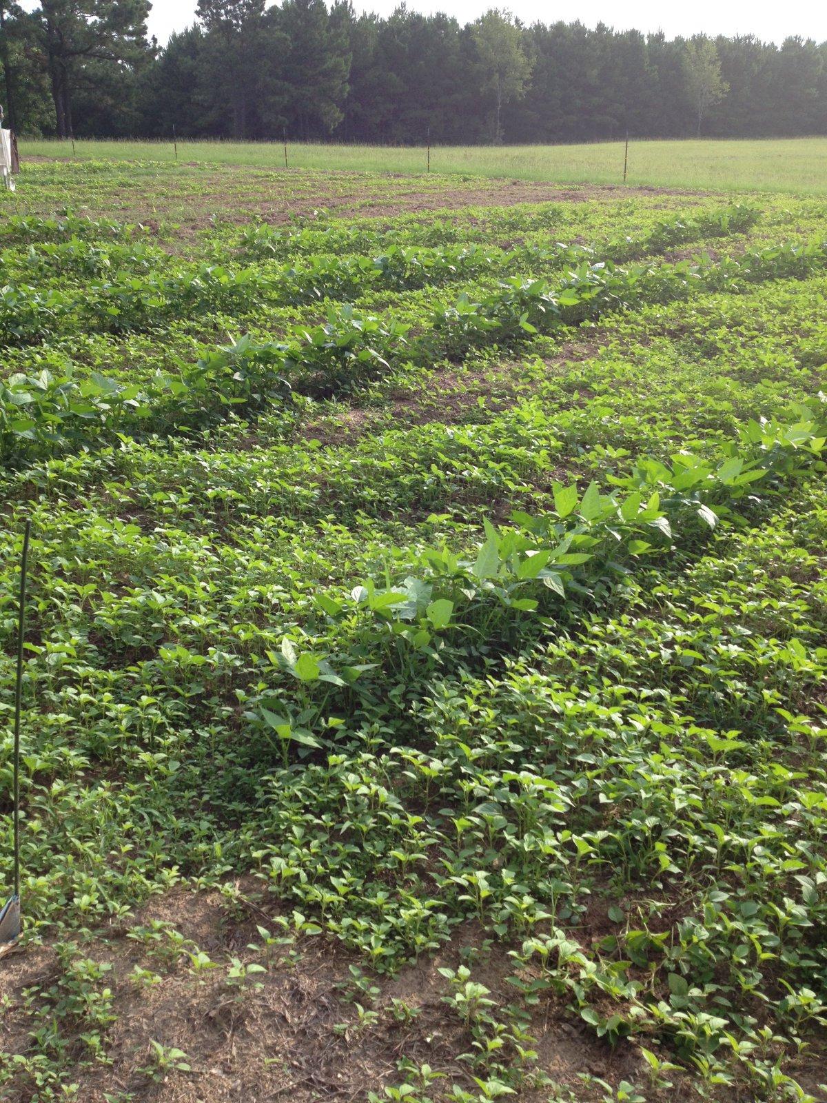 cover crops growing in a homestead garden