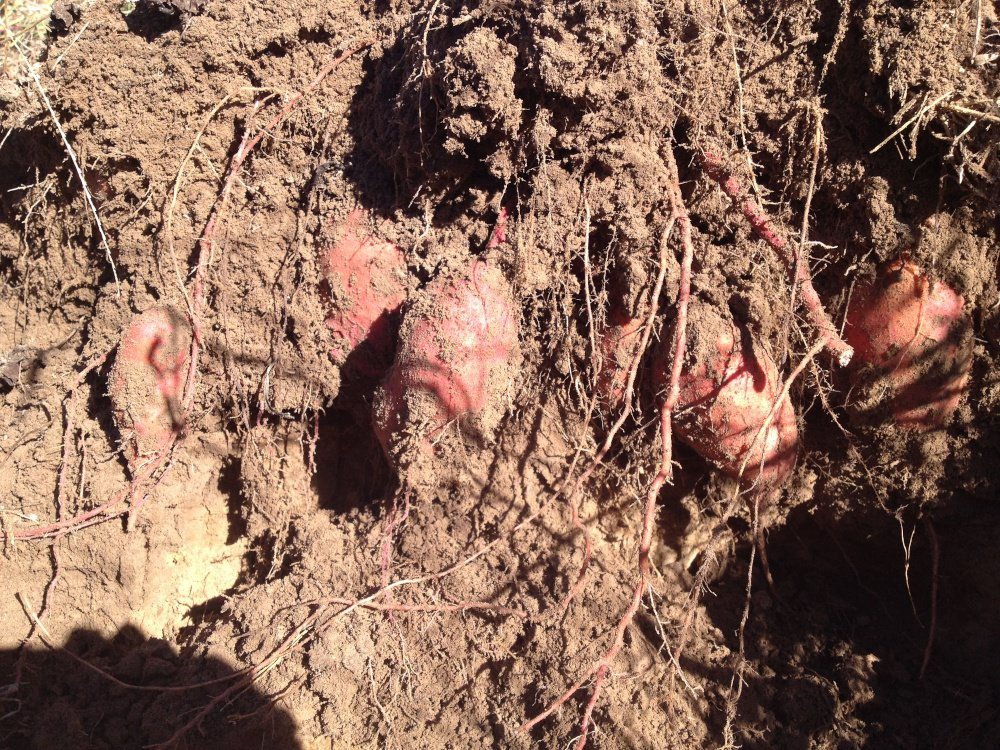 sweet potatoes that are in the ground and ready for harvest